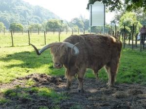 482. Kilmahog. Highland (toro peludo)