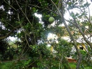 1107. Visita a casa colonial y huerto-jardín. Pomelos