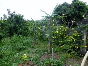 1109. Visita a casa colonial y huerto-jardín. Árbol de la fruta del dragón