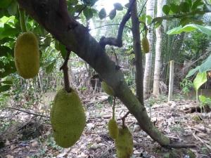 1113. Visita a casa colonial y huerto-jardín. Fruta de Jack