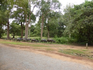 228. Búfalos de paseo