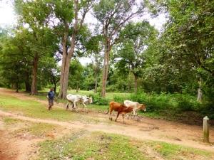 229. Vacas de paseo
