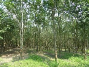 946. Camino a Cu Chi. Plantación de caucho