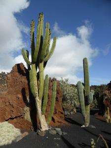 237. Guatiza. Jardín de Cactus