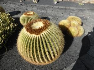 244. Guatiza. Jardín de Cactus