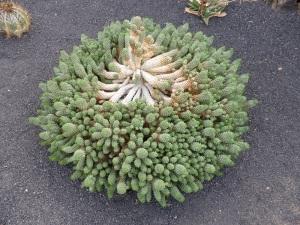 260. Guatiza. Jardín de Cactus