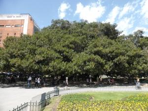 036. Buenos Aires. Plaza R. J. Carcaño. El Gomero