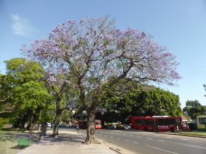 268. Buenos Aires. Jacaranda