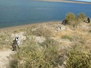 590. Por Península Valdés. Pingüinos
