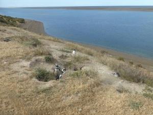596. Por Península Valdés. Pingüinos