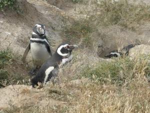 597. Por Península Valdés. Pingüinos