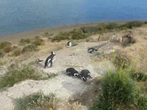 605. Por Península Valdés. Pingüinos