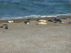 623. Por Península Valdés. Elefantes marinos