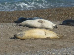 624. Por Península Valdés. Elefantes marinos