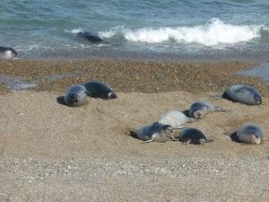 636. Por Península Valdés. Elefantes marinos