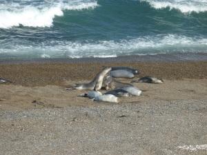 641. Por Península Valdés. Elefantes marinos