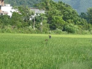 831. Yangshuo. Por los arrozales