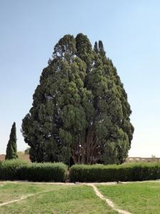 854. Abarkuh. Ciprés de 4000 años