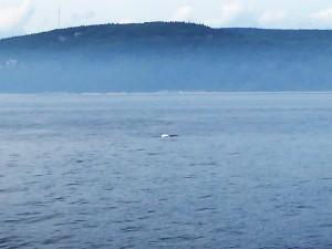 133. Ballena beluga