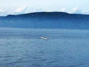 136. Ballenas beluga