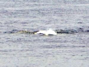 144. Ballenas beluga