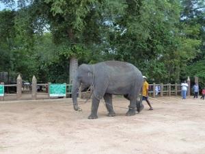 1001-pinnewale-orfanato-de-elefantes