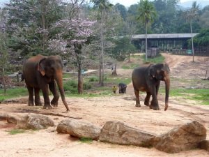 1002-pinnewale-orfanato-de-elefantes