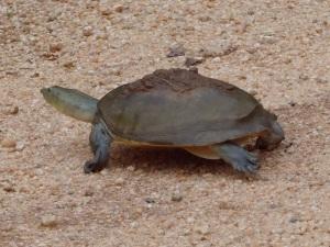 544-parque-nacional-de-minneriya-tortuga