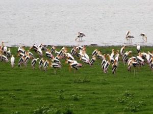 555-parque-nacional-de-minneriya-ciguena-de-pico-amarillo-mycteria-ibis