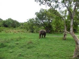 564-parque-nacional-de-minneriya-elefante