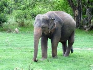 565-parque-nacional-de-minneriya-elefante
