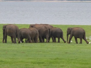 582-parque-nacional-de-minneriya-elefantes