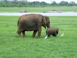 586-parque-nacional-de-minneriya-elefante-madre-y-cria