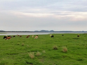 598-parque-nacional-de-minneriya-vacas