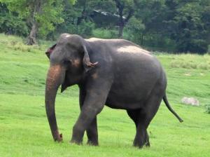 607-parque-nacional-de-minneriya-elefante
