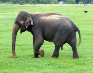 620-parque-nacional-de-minneriya-elefante