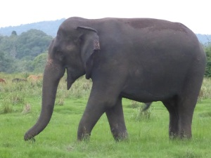 625-parque-nacional-de-minneriya-elefante