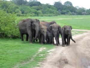 633-parque-nacional-de-minneriya-elefantes