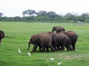 635-parque-nacional-de-minneriya-elefantes