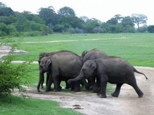 637-parque-nacional-de-minneriya-elefantes