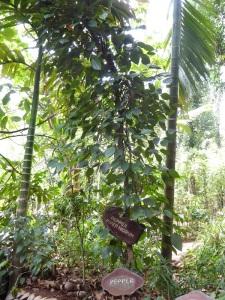 688-de-dambulla-a-matale-jardin-de-especias-pimienta-negra
