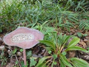 690-de-dambulla-a-matale-jardin-de-especias-jengibre