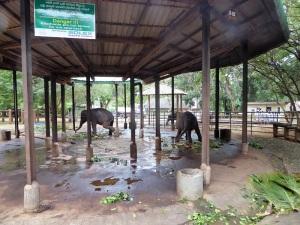 913-pinnewale-orfanato-de-elefantes