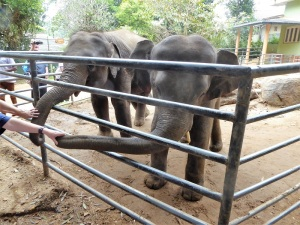 917-pinnewale-orfanato-de-elefantes
