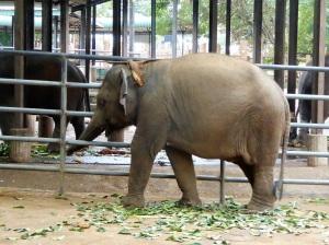 929-pinnewale-orfanato-de-elefantes