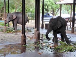 933-pinnewale-orfanato-de-elefantes
