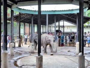 939-pinnewale-orfanato-de-elefantes