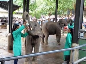 942-pinnewale-orfanato-de-elefantes