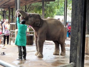 950-pinnewale-orfanato-de-elefantes