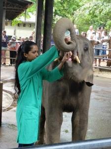 953-pinnewale-orfanato-de-elefantes